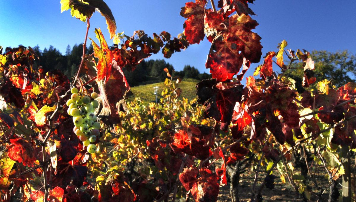 Grape Bunch, Fall Vines & Hillside